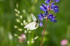 白色蝴蝶坐在草甸的花 图库摄影