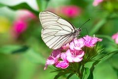 白色蝴蝶坐在草甸的花 免版税图库摄影