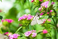 白色蝴蝶坐在草甸的花 库存图片