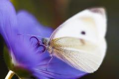 白色蝴蝶特写镜头  库存照片