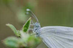 白色蝴蝶细节 免版税库存图片