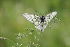 白色蝴蝶 免版税图库摄影