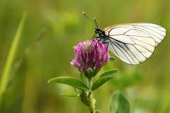 白色蝴蝶 库存照片