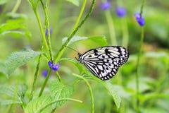 白色黑蝴蝶 免版税库存图片