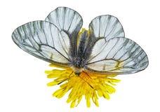 白色蝴蝶(Papilio stubendorfi) 10 库存图片