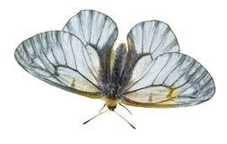 白色蝴蝶(Papilio stubendorfi) 15 库存图片
