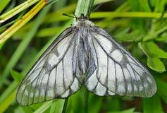 白色蝴蝶(Papilio stubendorfi) 12 图库摄影
