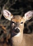 白色-被盯梢的鹿-母鹿画象1 免版税库存图片