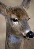 白色-被盯梢的鹿-母鹿画象2 库存照片