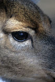白色-被盯梢的鹿-母鹿` s注视 免版税库存照片