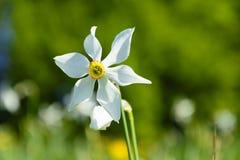 白色水仙野花 库存图片
