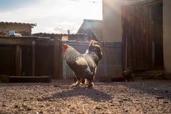 白色黑雄鸡和母鸡在围场 免版税库存照片