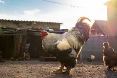 白色黑雄鸡和母鸡在围场 库存照片