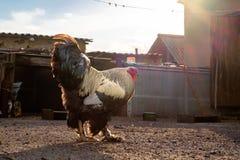 白色黑雄鸡和母鸡在围场 免版税库存图片