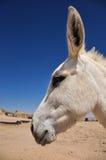 白色驴 免版税库存照片