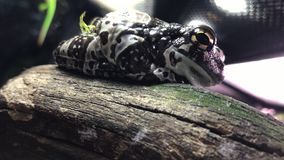 白色` s雨蛙 亦称矮胖的青蛙和澳大利亚绿色雨蛙 影视素材