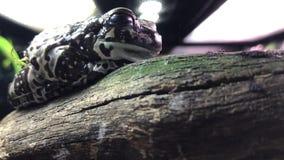 白色` s雨蛙 亦称矮胖的青蛙和澳大利亚绿色雨蛙 股票录像