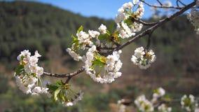 白色aplle开花在巴伦西亚 库存照片