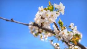 白色aplle开花在巴伦西亚 图库摄影