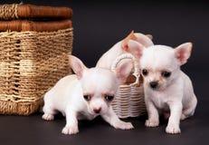 白色beautifuls小奇瓦瓦狗puppys坐 免版税库存图片