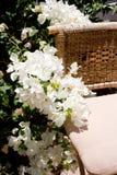 白色Bougainvillea.tropical九重葛白花 免版税库存照片