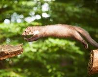 白色brasted跳跃在木头-市场foina的貂 免版税库存图片