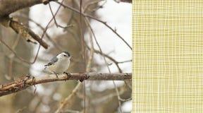 白色Breasted五子雀在一个树枝栖息晚冬 库存图片