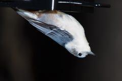 白色breasted五子雀,饲养者,垂悬 库存图片