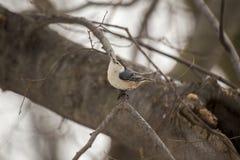 白色breasted五子雀(五子雀类carolinensis) 免版税库存照片