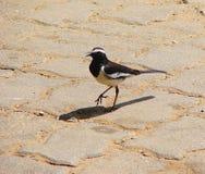 白色Browed令科之鸟- Motacilla maderaspatensis -在运动和啾啾叫的黑白色鸟 免版税库存照片