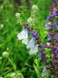 白色bytterflies, Aporia crataegi 库存图片