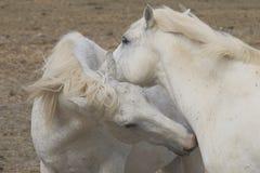 白色Camargue马夫妇在法国 库存照片