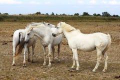 白色Camargue马家庭,法国 免版税库存照片