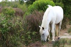 白色Camargue马, La Palissade,法国 库存图片