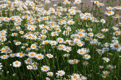 白色camomiles和绿草作为背景 免版税库存图片