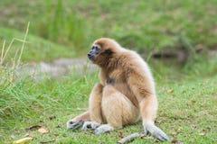 白色Cheeked长臂猿逗人喜爱的猴子坐绿草 免版税图库摄影