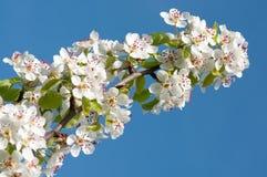 白色cherrythree花 免版税图库摄影
