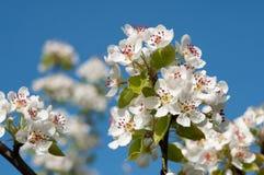 白色cherrythree花 库存图片