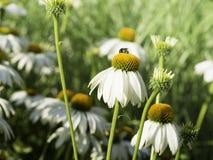 白色coneflowers,黄金菊,开花,关闭  图库摄影
