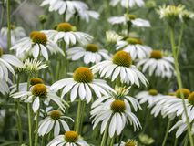 白色coneflowers,黄金菊,开花,关闭  库存图片