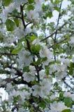 白色Crabapple树开花特写镜头 免版税库存照片