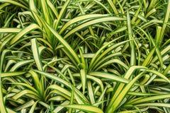白色Crinum百合绽放在庭院里 库存图片