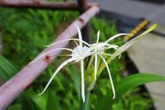 白色Crinum百合绽放在庭院里 图库摄影