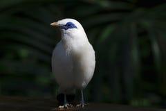 白色cristatellus 图库摄影