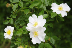 白色dogrose花 库存图片
