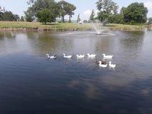 白色Duckies 免版税库存图片