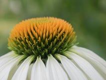 白色Echinea开花的花 图库摄影