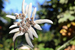 白色edelweiss花 免版税库存照片