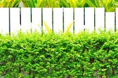 白色fenec绿色叶子 免版税库存照片