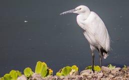 白色geron鸟 免版税库存照片